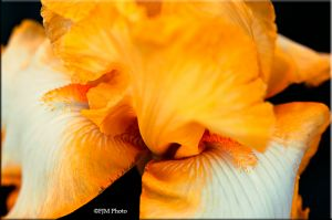 c62-Yellow-Iris-Abstract.jpg